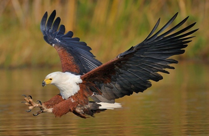 african fish eagle haliaeetus_vocifer desktop wallpaper hdafrican fish eagle haliaeetus_vocifer desktop wallpaper hd widescreen free download 915×515